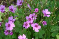 wood sorrel with flowers
