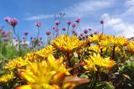 yellow sedum flowers