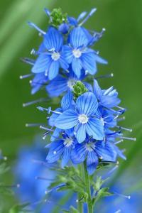 blue speedwell
