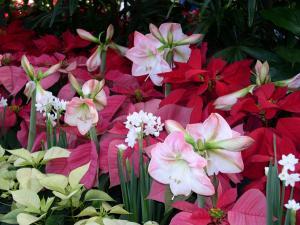 colorful amaryllis