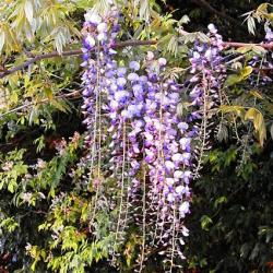 wisteria starting to flower