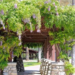wisteria pathway