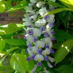 bicolor wisteria