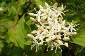 cornus blossoms