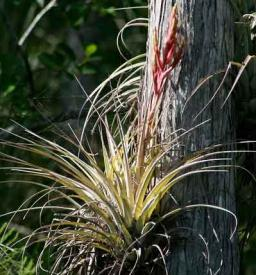 air plant in flower