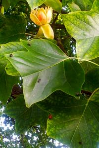 liriodendron in bloom