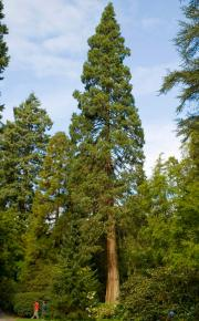 single coast redwood specimen