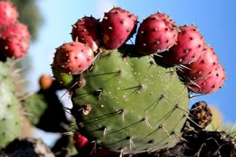 prickly pear cactus thorns