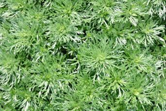 Photo of silver mound artemisia plants