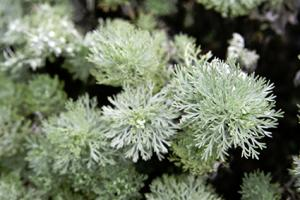 Silver mound artemisia plant