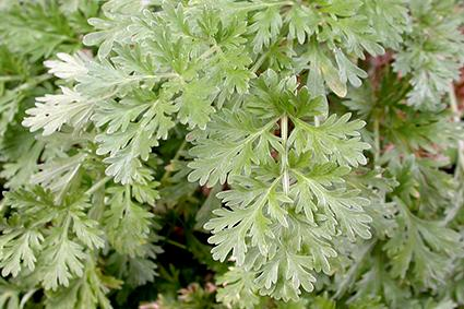 Wormwood, another member of the artemisia family