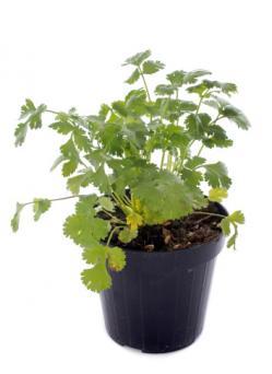 cilantro in a pot