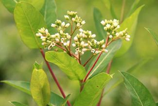 Intermediate dogbane