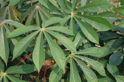 tapioca leaves