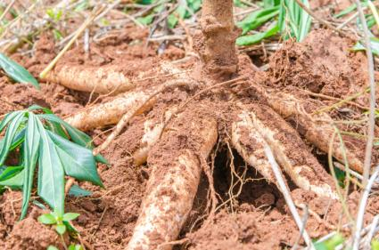 tapioca plant in ground