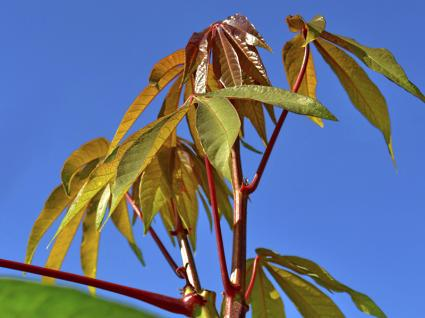 variegated tapioca