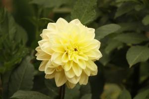 paeonia cultivar