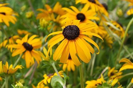 black-eyed Susan planting