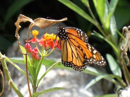 milkweed hosts butterflies