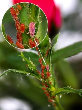 aphids up close