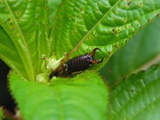 earwig plant habitat