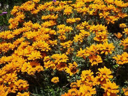gazania planting