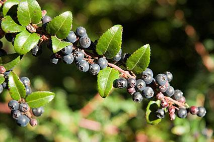 huckleberry fruit