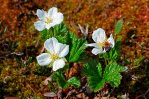 Cloudberry Flowers