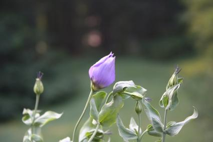 Eustoma flower