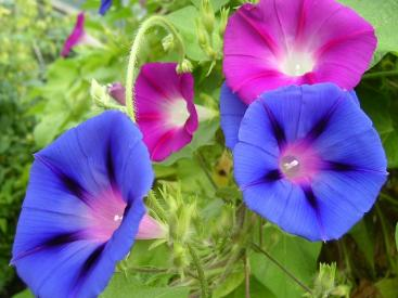 multi color morning glories