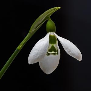 snowdrop up close