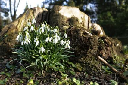 galanthus in spring