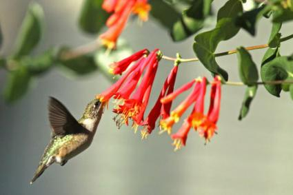 Hummingbird Hovering On Honeysuckle