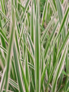 Sedge Carex Variegata