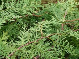 evergreen foliage