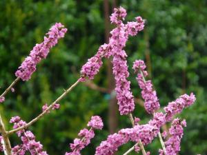 daphne blossoms