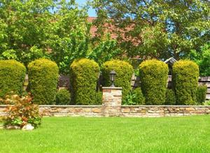 arborovitae topiary