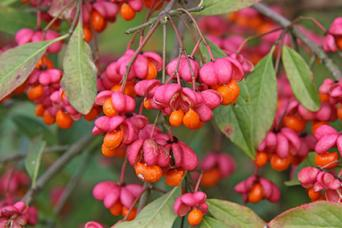 Spindle Tree Fruit