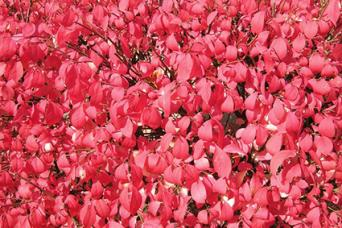Euonymus fal color