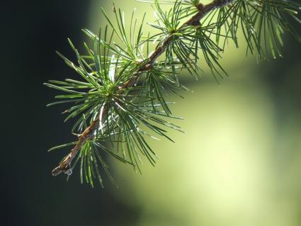 larix foliage