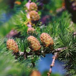 tamarack cones