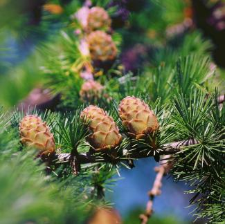 Larch cones on branches