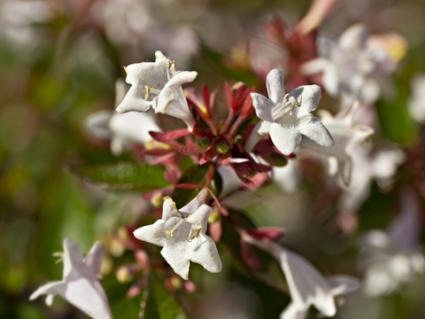 abelia-grandiflora.jpg
