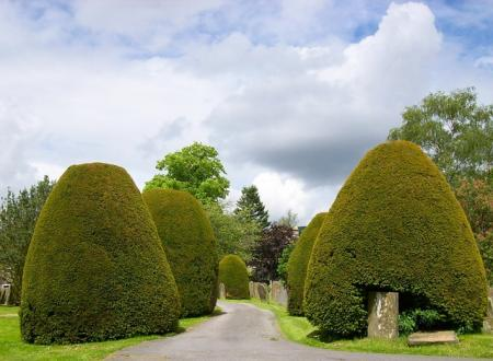 yew topiary shrubs