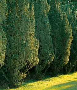 Fastigiata yew trees