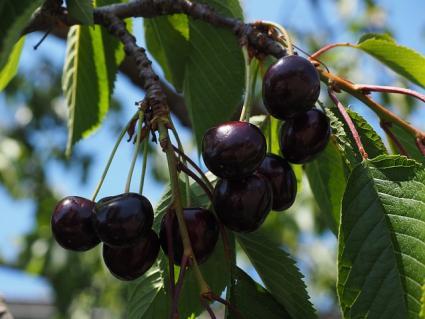 cherry bing fruit