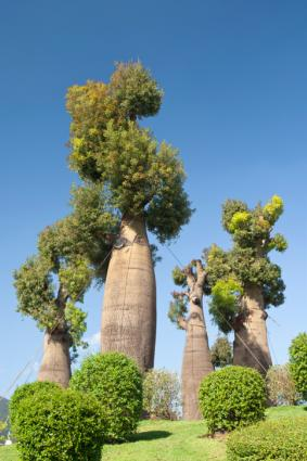 Baobab Trees Lovetoknow