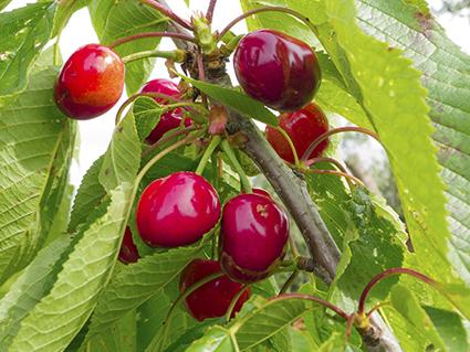 Meteor Cherries