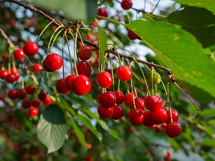Cherry Tree Varieties Lovetoknow