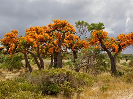 Australian Christmas Tree